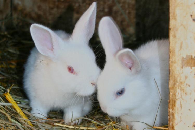 2 white rabbits on straw