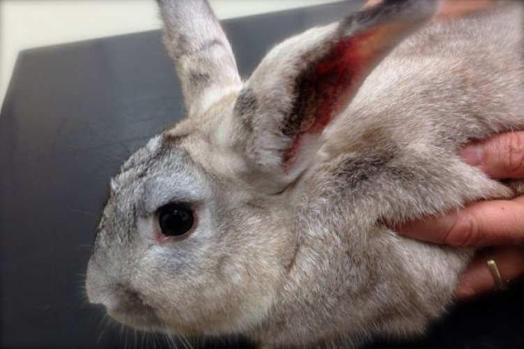 Rabbit with crusty ears