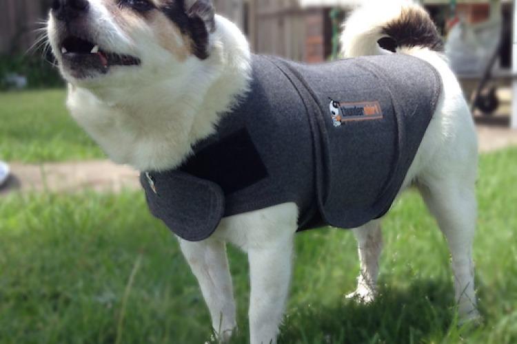 Mintie in a thundershirt
