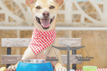 Small dog at a table wearing a napkin with a blue food bowl in front of them. There are weigh scales with grain/grainfree on them