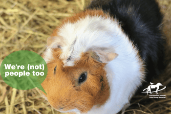 A guinea pig which is black, white and tan saying we're not people too