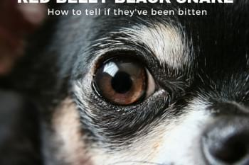 Picture of a chihuahua's eye looking, text RED BELLY BLACK SNAKE, How to tell if they've been bitten