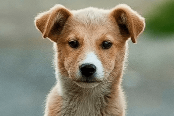 cute tan and white puppy with nice long nose looking at the camera