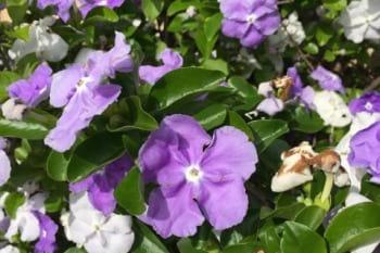 brunsflesia bonodora flowers